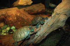 """History """"Swamp People"""" Turtles"""