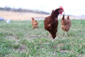 heartyn_chickens_2015
