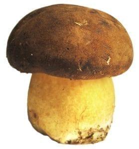 mushroom_stock_white-back